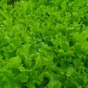 Lettuce - Leaf