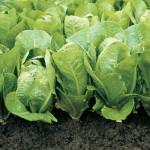 Lettuce-Romaine