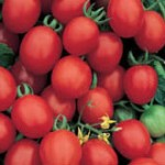 Tomatoes - Grape