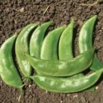 Bean - Valor-Papdi-Priya