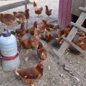 Organic Chickens For Sale