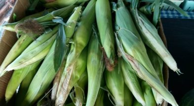 Sweet Corn is Ready