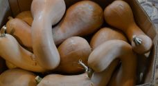 Organic Crooked Neck Squash