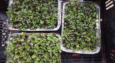 Micro greens available now